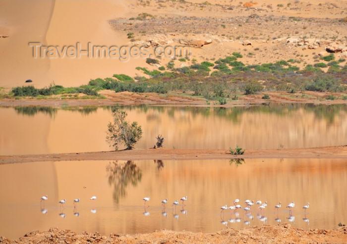 western-sahara40: Laâyoune / El Aaiun, Saguia el-Hamra, Western Sahara: flamingos at Oued Saqui el-Hamra - photo by M.Torres - (c) Travel-Images.com - Stock Photography agency - Image Bank