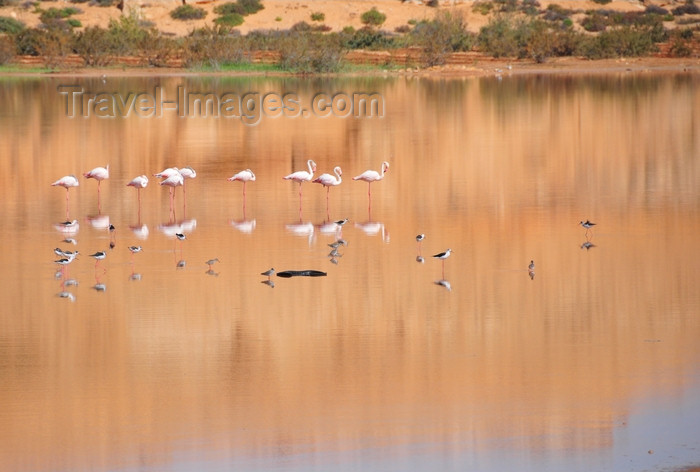 western-sahara41: Laâyoune / El Aaiun, Saguia el-Hamra, Western Sahara: flamingos and red dunes reflected on the water of the Oued Saqui el-Hamra - photo by M.Torres - (c) Travel-Images.com - Stock Photography agency - Image Bank