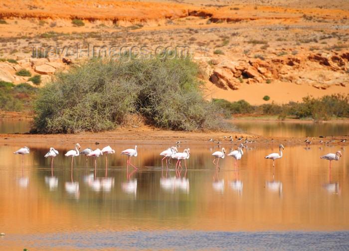 western-sahara43: Laâyoune / El Aaiun, Saguia el-Hamra, Western Sahara: flamingos reflected on the water of the Oued Saqui el-Hamra - photo by M.Torres - (c) Travel-Images.com - Stock Photography agency - Image Bank