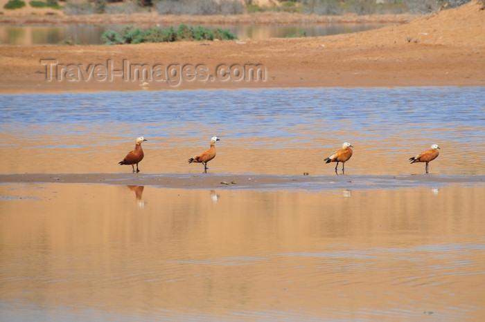 western-sahara45: Laâyoune / El Aaiun, Saguia el-Hamra, Western Sahara: red ducks - Oued Saqui el-Hamra - photo by M.Torres - (c) Travel-Images.com - Stock Photography agency - Image Bank
