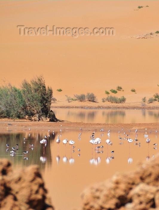 western-sahara46: Laâyoune / El Aaiun, Saguia el-Hamra, Western Sahara: flamingos and red dunes - Oued Saqui el-Hamra - photo by M.Torres - (c) Travel-Images.com - Stock Photography agency - Image Bank