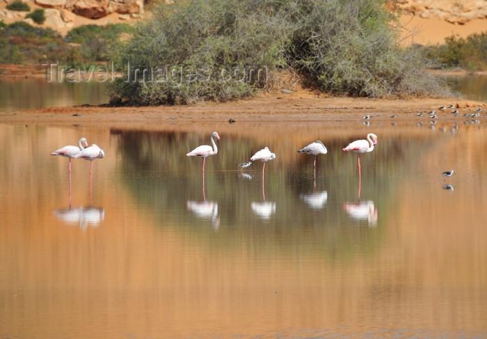 western-sahara51: Laâyoune / El Aaiun, Saguia el-Hamra, Western Sahara: flamingos rest - Oued Saqui el-Hamra - photo by M.Torres - (c) Travel-Images.com - Stock Photography agency - Image Bank