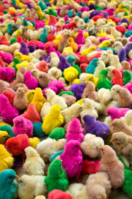 yemen56: Sayun / Seiyun / Say'un, Hadhramaut Governorate, Yemen: baby chickens, dyed unnatural color - poultry rainbow - Gallus gallus domesticus chicks - photo by J.Pemberton - (c) Travel-Images.com - Stock Photography agency - Image Bank