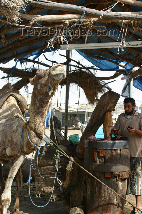 yemen6: Yemen - Zabid - Al Hudaydah governorate - blindfolded camel powering an oil mill - photo by E.Andersen - (c) Travel-Images.com - Stock Photography agency - Image Bank