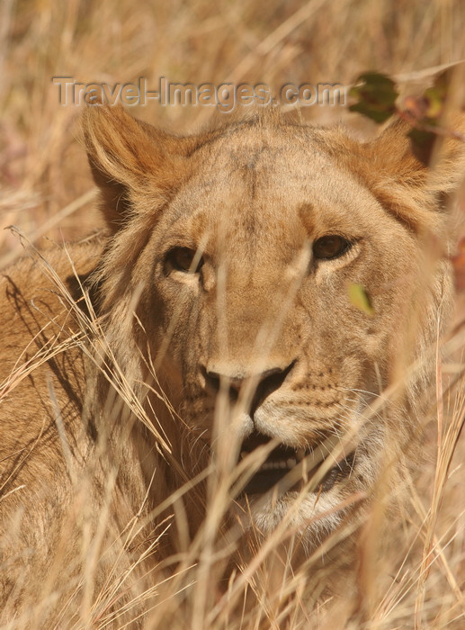 zimbabwe11: Masuwe, Matabeleland North province, Zimbabwe: lion in the tall grass - photo by R.Eime - (c) Travel-Images.com - Stock Photography agency - Image Bank