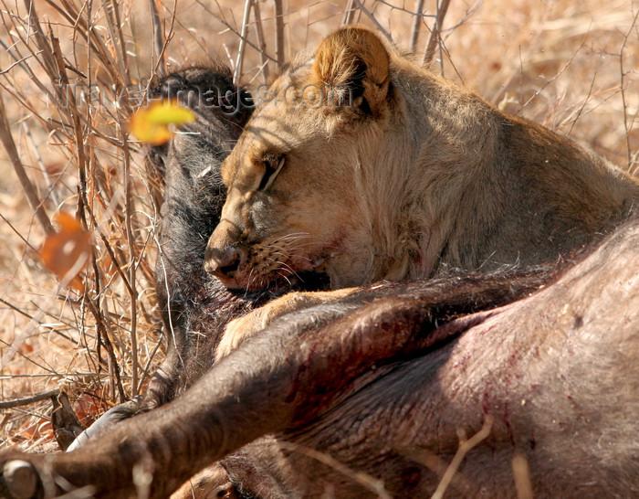 zimbabwe20: Masuwe, Matabeleland North province, Zimbabwe: a lion makes a kill - photo by R.Eime - (c) Travel-Images.com - Stock Photography agency - Image Bank