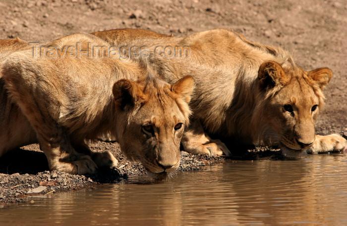 zimbabwe21: Zambezi National Park, Matabeleland North province, Zimbabwe: lions at a water hole - photo by R.Eime - (c) Travel-Images.com - Stock Photography agency - Image Bank