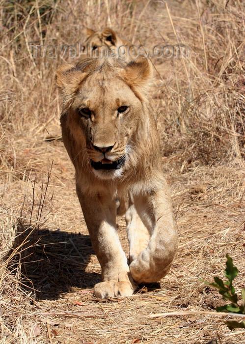 zimbabwe22: Masuwe, Matabeleland North province, Zimbabwe: lion hunting - photo by R.Eime - (c) Travel-Images.com - Stock Photography agency - Image Bank