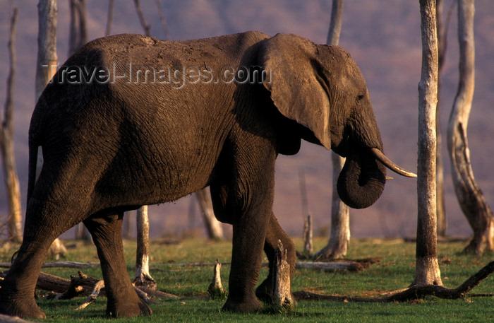 zimbabwe36: Lake Kariba, Mashonaland West province, Zimbabwe: an African Elephant walks among dead trunks along the lake shore - Loxodonta Africana - photo by C.Lovell - (c) Travel-Images.com - Stock Photography agency - Image Bank