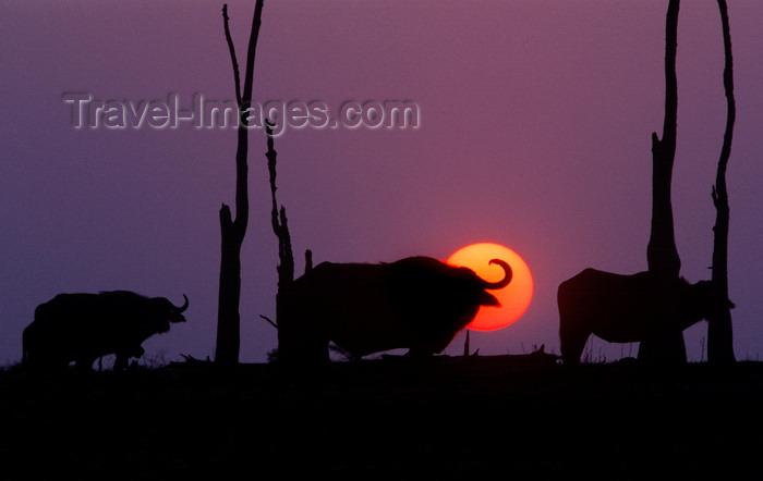 zimbabwe38: Lake Kariba, Mashonaland West province, Zimbabwe: sunset and silhouettes of Cape Buffalos - one of Africa's most dangerous animals - Syncerus Caffer - African Buffalo - photo by C.Lovell - (c) Travel-Images.com - Stock Photography agency - Image Bank