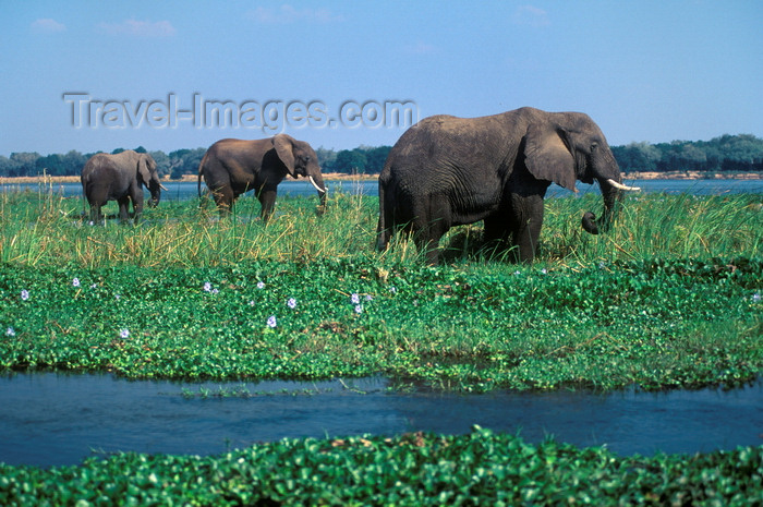 zimbabwe40: Zambezi River, Matabeleland North province, Zimbabwe: herd of African Elephant foraging in the river shallows- Loxodonta Africana - photo by C.Lovell - (c) Travel-Images.com - Stock Photography agency - Image Bank