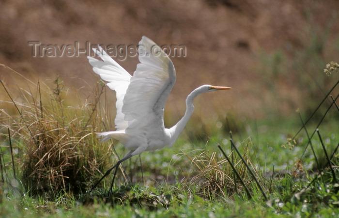 zimbabwe42: Zambezi River, Matabeleland North province, Zimbabwe: a Great Egret takes off along the river shores - Ardea alba - photo by C.Lovell - (c) Travel-Images.com - Stock Photography agency - Image Bank