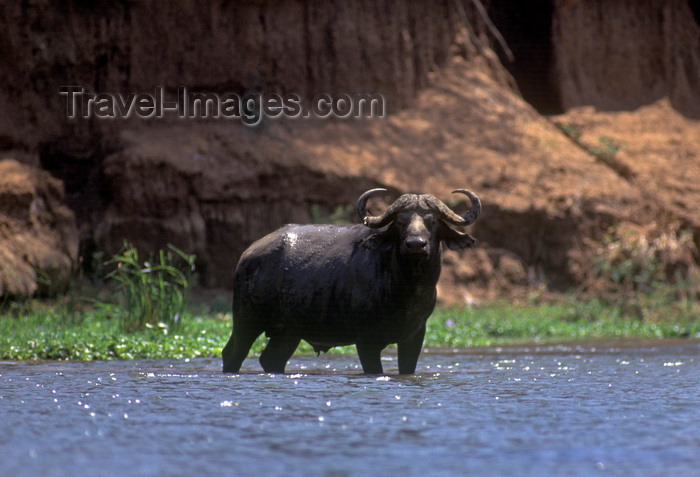 zimbabwe43: Zambezi River, Matabeleland North province, Zimbabwe: Cape Buffalo in the shallow waters of a side channel - Syncerus Caffer - African Buffalo - photo by C.Lovell - (c) Travel-Images.com - Stock Photography agency - Image Bank