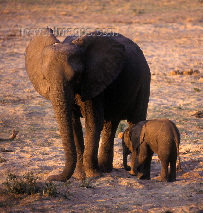 zimbabwe46: Matusadona National Park, Mashonaland West province, Zimbabwe: baby Elephants are born weighing 150 Kilos and are well nurtured by their mothers - Loxodonta Africana - photo by C.Lovell - (c) Travel-Images.com - Stock Photography agency - Image Bank