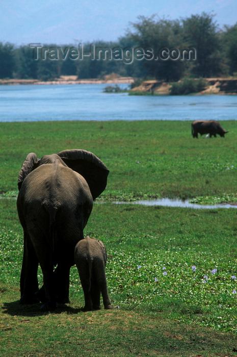 zimbabwe47: Matusadona National Park, Mashonaland West province, Zimbabwe: mother and baby Elephant on the lake shore - Loxodonta Africana - photo by C.Lovell - (c) Travel-Images.com - Stock Photography agency - Image Bank