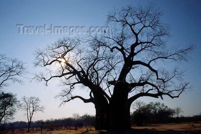 zimbabwe5: Matusadona National Park, Mashonaland West province, Zimbabwe: the eerie shape of a gigantic Baobab Tree - Adansonia digitata - solitary individual - photo by C.Lovell - (c) Travel-Images.com - Stock Photography agency - Image Bank