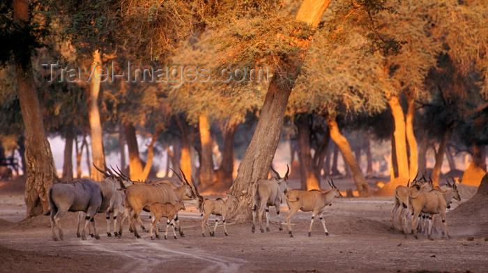 zimbabwe51: Matusadona National Park, Mashonaland West province, Zimbabwe: a herd of Southern Eland, the world's largest antelope weighing up to 1000 kilos - Taurotragus Oryx - photo by C.Lovell - (c) Travel-Images.com - Stock Photography agency - Image Bank