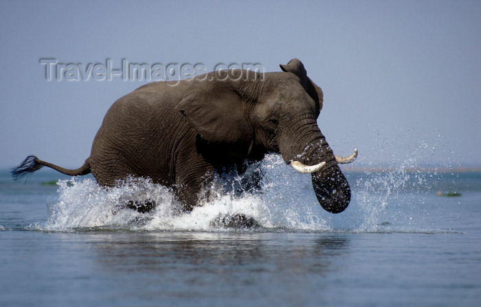 zimbabwe8: Zambezi River, Matabeleland North province, Zimbabwe: an African Elephant charges on the water as the photographer's canoe gets too close for comfort - Loxodonta Africana - photo by C.Lovell - (c) Travel-Images.com - Stock Photography agency - Image Bank