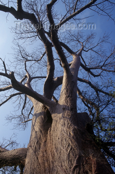 zimbabwe9: Lake Kariba, Mashonaland West province, Zimbabwe: the magnificent and unusual Baobab Tree seen from the base - Adansonia digitata - Lake Kariba Recreational Park - photo by C.Lovell - (c) Travel-Images.com - Stock Photography agency - Image Bank