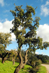 Cortiçadas (Loulé): cork oak by the N-124 road - sobreiro - photo by M.Durruti