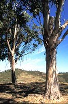Portugal - Algarve - Falacho (perto de Silves): eucalyptus trees - eucaliptos e céu - photo by T.Purbrook