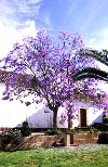 Portugal - Algarve - Silves: jacaranda em flor - photo by T.Purbrook