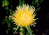 Portugal - Baleal (concelho de Peniche): Ice Plant - yellow flower - Carpobrotus edulis - flor de Chor�o-das-praias - Highway Ice Plant, Pigface or Hottentot Fig - photo by M.Durruti