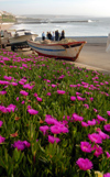 Ericeira, Mafra, Portugal: flowerin Ice Plants over the ocean - Carpobrotus edulis - Chorão-das-praias em flow - photo by M.Durruti