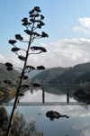 Belver (Gavi�o municipality) - Portugal: flowering Century Plant or Maguey (Agave americana) and the bridge over the Tagus river / piteira em flor e a ponte sobre o rio Tejo - photo by M.Durruti