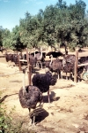 Portugal - Grandola, Alentejo: avestruzes e oliveiras - ostriches under the olive trees - photo by M.Durruti