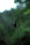 Reunion / Reunião - Nephila nigra - Black/Golden Orb-web Spider - Bibe - it weaves the strongest and largest spider web in the world - photo by W.Schipper