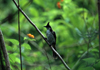 Reunion / Reunião - Pycnonotus jocosus - Red-whiskered Bulbul on a branch - photo by W.Schipper