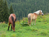 Rodnei National Park, Maramures county, Transylvania, Romania: horses at Prislop pass - photo by J.Kaman