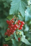 Russia - Rostov / ROV: berries  (photo by Anatolij Petrov)