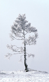 Lake Baikal, Irkutsk oblast, Siberian Federal District, Russia: lone tree on the lake bank - snow - photo by B.Cain