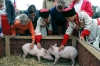 Russia - Kuban: children petting piglets - Golden Apple folk festival (photo by Vladimir Sidoropolev)