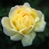 Russia - Krasnodar kray: yellow rose with dew (photo by Vladimir Sidoropolev)