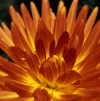 Russia - Krasnodar kray: Dahlia - close up - dalia - Dahlia spp. (photo by Vladimir Sidoropolev)