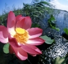 Russia - Krasnodar kray: lotus flower with small fruit - Nelumbo nucifera (photo by Vladimir Sidoropolev)
