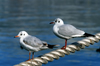 Russia - Krasnodar kray: seagulls - Black Sea coast (photo by Vladimir Sidoropolev)