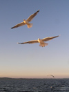 Russia - Arkhangelsk Oblast: pair of seagull in flight - photo by J.Kaman