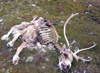 Wrangel Island / ostrov Vrangelya, Chukotka AOk, Russia: reindeer carcass - skeleton on the tundra - photo by R.Eime