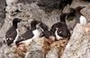 Wrangel Island / ostrov Vrangelya, Chukotka AOk, Russia: Thick Billed Guillemots nesting in the cliffs of Cape Warning - Uria lomvia - Brьnnich's Guillemot - Thick-billed Murre - photo by R.Eime