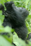 Rwanda - Parc National des Volcans - Virunga Volcanoes / Volcanoes' national park: mountain gorilla - Gorilla beringei beringei - photo by J.Banks