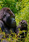 Volcanoes National Park, Northern Province, Rwanda: Mountain Gorilla - Gorilla beringei beringei - Gorundha, of the Sabyinyo Group, is the largest alpha male Silver Back in the park - photo by C.Lovell