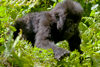Volcanoes National Park, Northern Province, Rwanda: a baby Mountain Gorilla of the Sabyinyo is the future of this endangered species - Gorilla beringei beringei - photo by C.Lovell