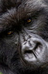 Volcanoes National Park, Northern Province, Rwanda: face of a male Mountain Gorilla of the Kwitonda Group - Gorilla beringei beringei - on the endangered species list - photo by C.Lovell
