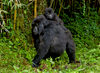 Volcanoes National Park, Northern Province, Rwanda: mother Mountain Gorilla with baby on her back - Sabyinyo Group - Gorilla beringei beringei - photo by C.Lovell
