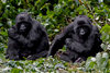 Volcanoes National Park, Northern Province, Rwanda: two brother Mountain Gorillas relax in their nest - Kwitonda Group - Gorilla beringei beringei - photo by C.Lovell