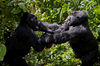 Volcanoes National Park, Northern Province, Rwanda: play fighting creates a pecking order within Mountain Gorillas - Kwitonda Group - Gorilla beringei beringei - photo by C.Lovell